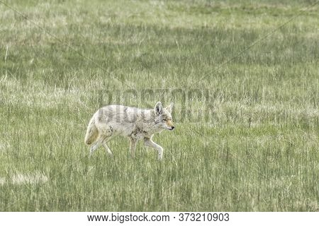 A Lone Coyote Walks In A Grassy Field In Central Yellowstone National Park.