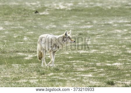 Coyote Walks On The Grassy Field In Central Yellowstone National Park.