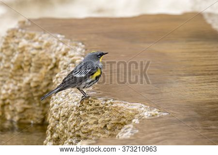 Small Warbler At Mammoth Hotsprings. In Yellowstone National Park.