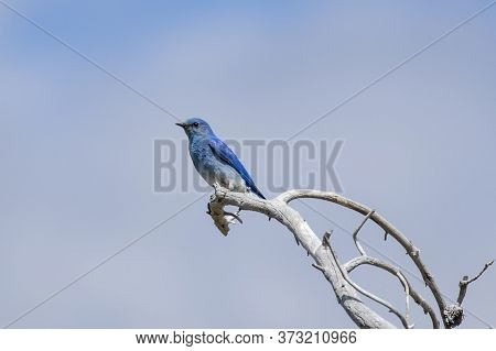 A Cute Mountain Bluebird Perched On A Barren Tree Limb In Yellowstone National Park.