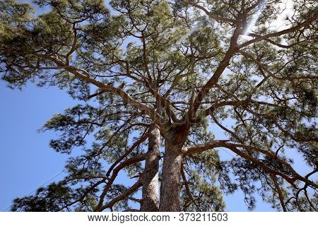 Huge Treetop With Long Branches With Sunrays Coming In Between The Leaves On A Blue Sky Background