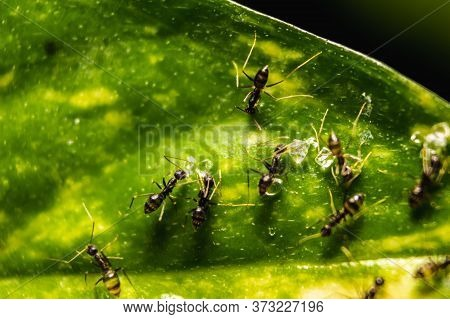 Group Of Small Black Ants Eating Sugar Bar On The Leafs With Selective Focus. Macro Close Up A Lot O