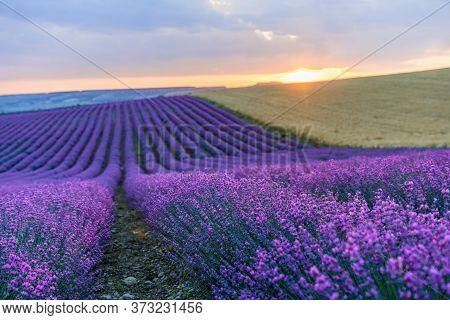 Lavender Flower Blooming Scented Fields In Endless Rows On Sunrise. Selective Focus On Bushes Of Lav