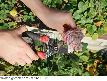 A Gardener Is Deadheading Roses, Spent Or Withered Flowers Using Pruning Shear To Encourage Further