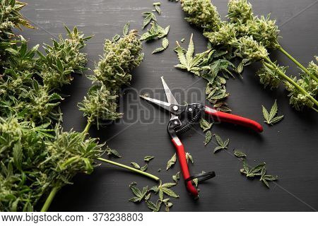 Growers Trim Cannabis Buds. The Sugar Leaves On Buds. Growers Trim Their Pot Buds Before Drying.