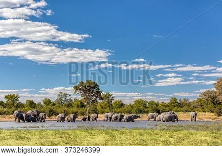 Herd Of African Elephant On Waterhole In Moremi Game Reserve Botswana, Picturesque Of Traditional La