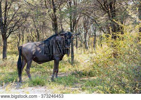 Wild Blue Wildebeest Gnu In Wilderness, Hiding In Bush, Botswana, Africa Wildlife Safari