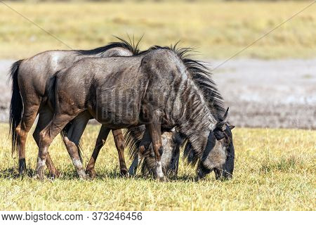 Wild Blue Wildebeest Gnu In Wilderness, Botswana, Africa Wildlife Safari