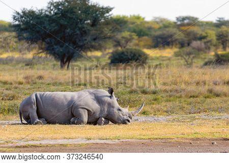 Resting White Rhinoceros Khama Rhino Sanctuary Reservation, Botswana Safari Wildlife, Wild Animal In