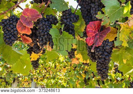 Bunches Of Ripe Pinot Noir Grapes On Wine In Vineyard At Harvest Time With Blurred Background And Co