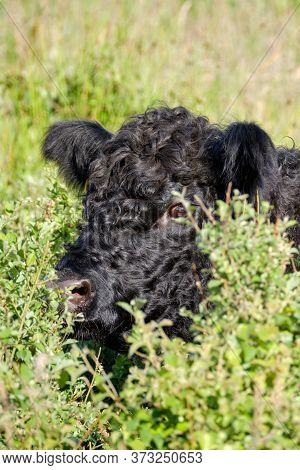 Close-up Of A Head Of A Black Highland Cattle Cow In Very Tall Grass. Cattle Come In Different Color