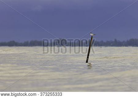 A Seabirds Perch On Bamboo Poles That Fishermen Set Up For Observation In Shallow Water.