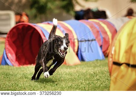 Tricolor Border Collie In Agility Tunel On Ratenice Competition. Amazing Day On Czech Agility Compet