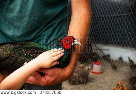 Mans Holds In His Hands A Male Romanian Pheasant. Agriculture, Domestic Poultry, Pheasant Farm