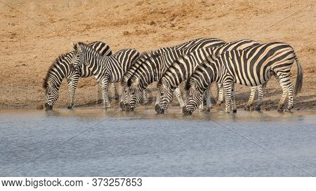 A Herd Of Zebra Standing In Line At Water's Edge Drinking In The Late Afternoon Light In Kruger Park