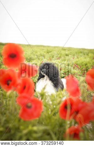 Portrait Of Puppy Poodle, Who Is Hidding In Poppy Seed. He Is So Cute