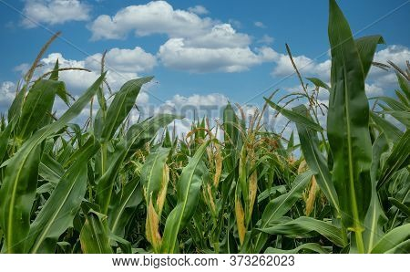 View Of Rows Of Green Corn Stalks In Field Ready For Harvest With A Dramatic Sky In The Background I