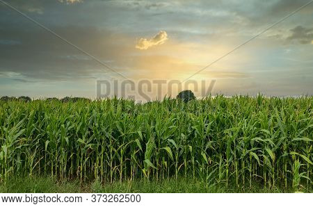 View Of Rows Of Green Corn Stalks In Field Ready For Harvest With A Dramatic Sunset In The Backgroun