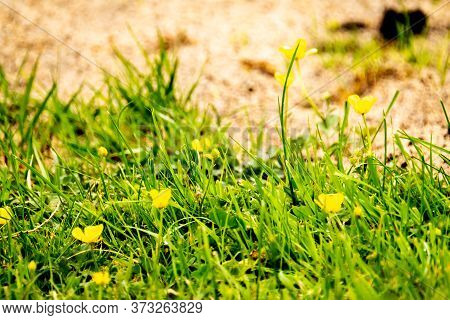 Blooming Buttercup In Spring On A Lawn