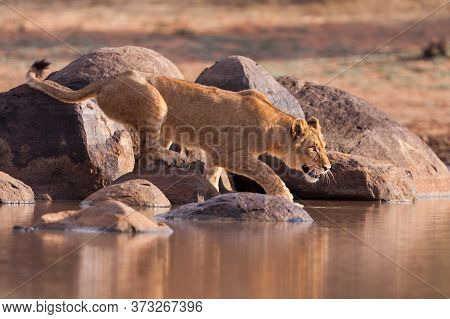 Young Lion Crouching On A Rock About To Drink Water In Golden Afternoon Light In Kruger Park South A
