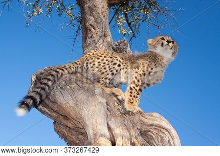 A Horizontal Portrait Of A Small Cheetah Cub Sitting High In The Tree With Clear Blue Sky In The Bac