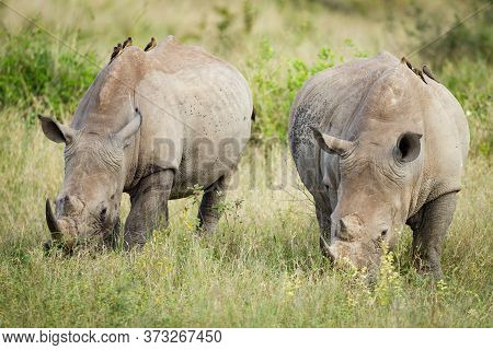 Two Big Adult White Rhino Eating Grass With Red Billed Ox-peckers Sitting On Their Backs In Kruger P