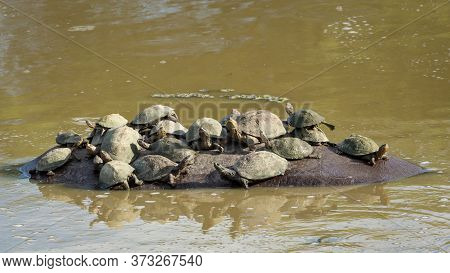 Hippo's Back Covered With Cute Terrapins Which Use It As A Rock In Kruger Park South Africa
