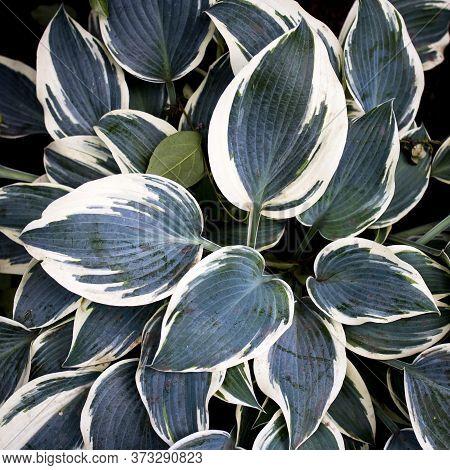 Green Foliage Of Hosta Albo-marginata, Leaves Of Hosta Background. Background From Green Leaves, Lea