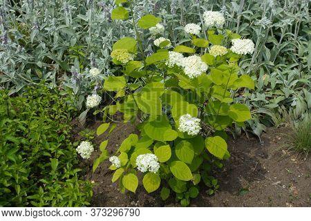 White Hydrangea Bush In Bloom In June