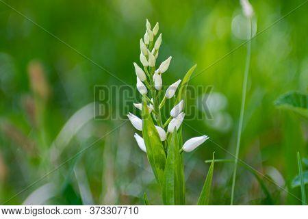 Narrow Leaved Helleborine Before Flower Is Opening