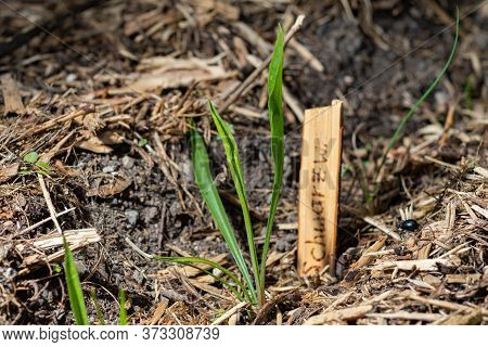 Black Salsify Seedling With Blurred Name Plate In The Background