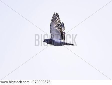 Rock Dove, Rock Pigeon Or Common Pigeon (columba Livia) Close Up In Flight