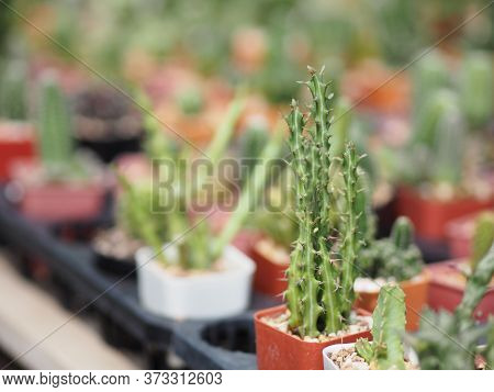 Cactus Tree Green Trunk Has Sharp Spikes Around In Garden