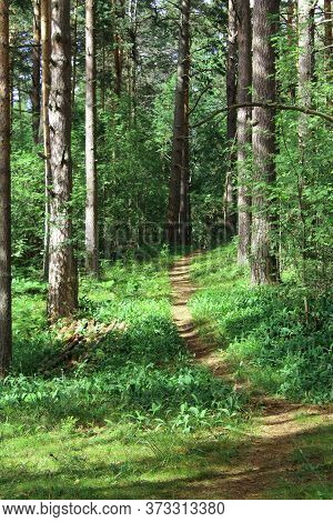 Beautiful green summer forest. Path in green woods. Walk in beautiful green birch and fir forest. Road in the mystique forest. Nature reserve in Russia. Camping by mixed forest