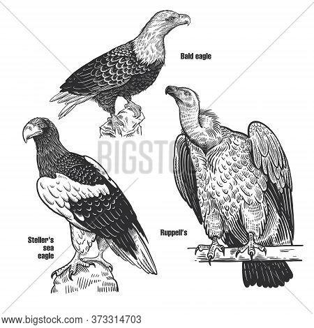 Birds Set. Predatory Birds. Bald Eagle, Steller's Sea Eagle And Ruppell's. Black Sketch Of Animal On