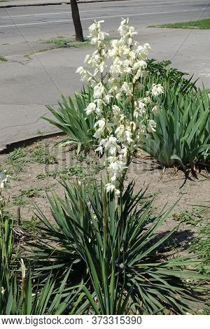 Florescence Of Yucca Filamentosa In Mid June