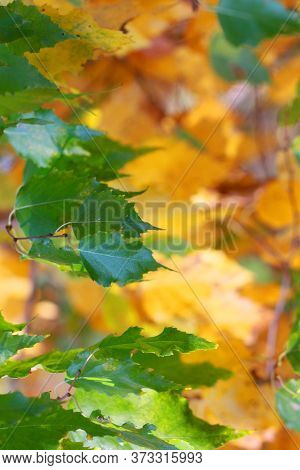 Green Birch Leaves On A Yellow Blurred Background Of Yellowed Leaves, Back To School, Vertical Forma