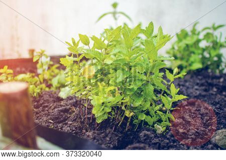 Man Planting Green Fresh Leaf Of Mint, Morocco Type Mint Closeup Shot With Man Hands In The Front An