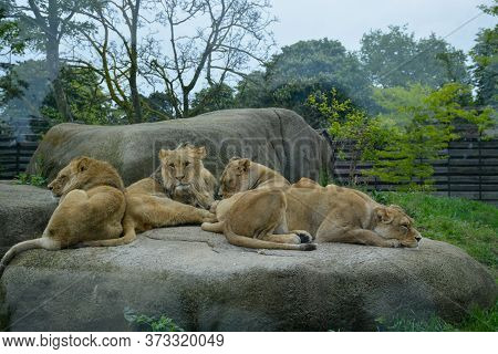 A Pack Of Lionesses Sleeping On A Rock