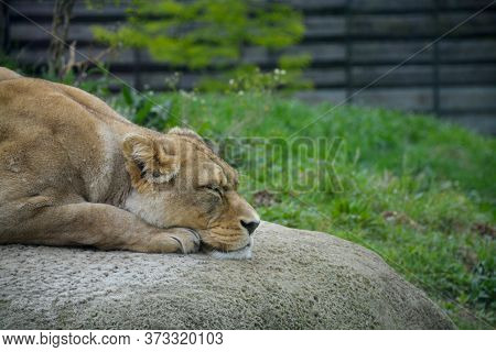 Lioness Sleeping On A Rock In The Wild