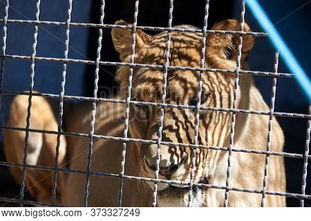 Sad Young Lioness Resting In A Metal Cage.