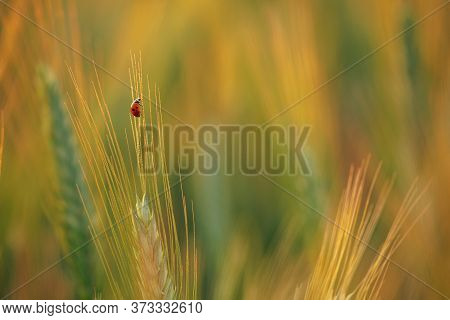 Ladybugs Walk Over An Ear Of Gold Corn / A Man Helps A Ladybug To Arrive Over An Ear Of Gold Corn