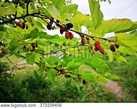 Black Mulberry Fruits In The Tree - Morus , Called Black Mulberry Or Blackberry Not To Be Confused W