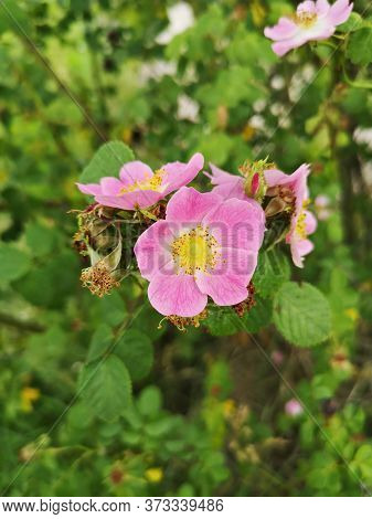Beautiful Pink Flower -  Dog Rose Or Wild Rose. Rosa Canina, Commonly Known As The Dog Rose Is A Var