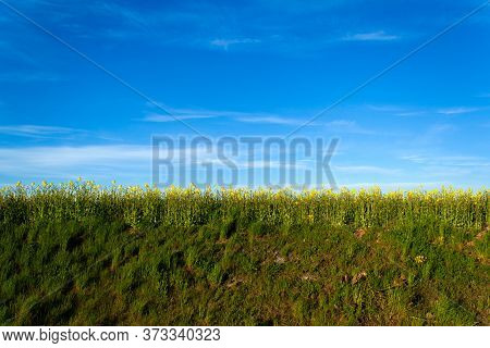 Beautiful Field Of Yellow Rape On A Hill. A Closeup Photo Of A Rapeseed Flower. Growing Seeds Of Agr