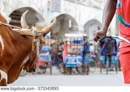 Toliara, Madagascar - January 10th, 2019: The Head Of An Ox Looking The Street And A Cyclist At The