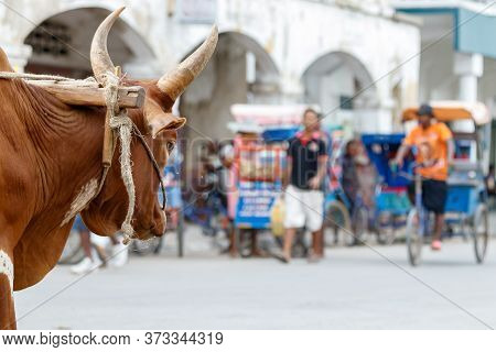Toliara, Madagascar - January 10th, 2019: The Head Of An Ox Looking The Street At The Center Of Toli