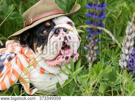 Black And White English Bulldog Wearing A Hat Out For A Walk Sitting In The Grass
