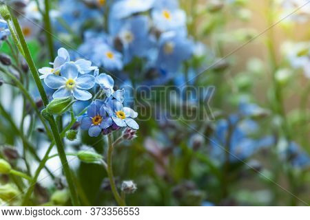 Fresh Blue Forget-me-not Flowers Close Up. Floral Macro Card
