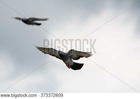 Rock Pigeon Gliding In The Air.   Vancouver Bc Canada